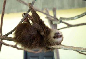 Perezoso apoyado en la rama de un arbol